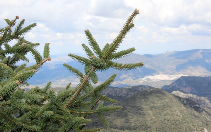 The pinsapo is a specie of the Andalusian region