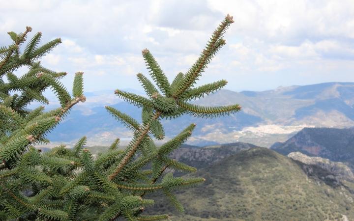 El pinsapo es una especie poco visible fuera de la región andaluza