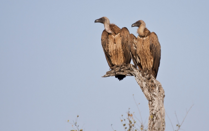 A colony of vultures living in the area