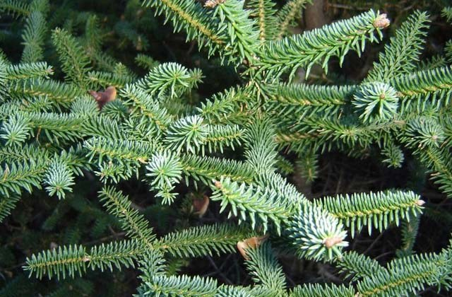 Enjoy the last tropical forest in Europe: Los Alcornocales Natural Park:Abies Pinsapo