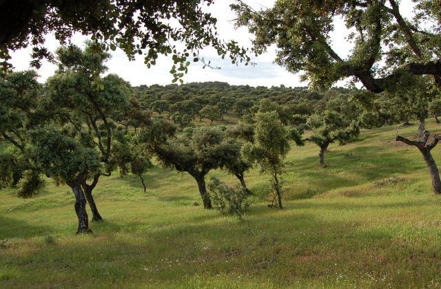 Cork Trees.