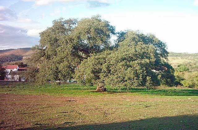 Chêne vert des chiens