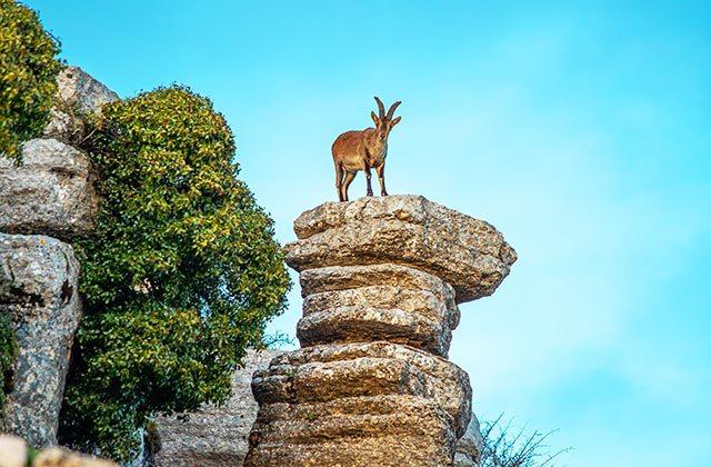 Cabra Montes El Torcal de Antequera
