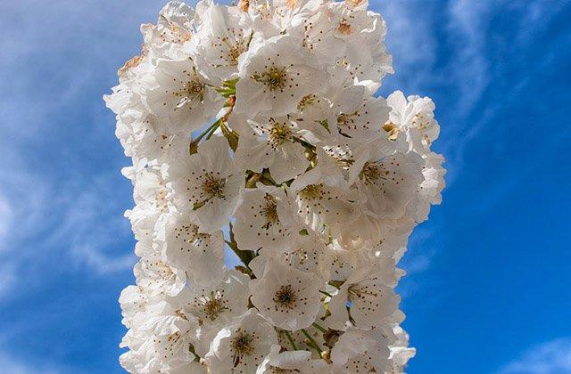 Flor de cerezo en Alfarnate. Fotografía: blogrural.net