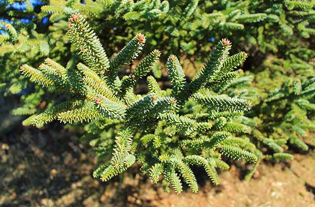 Pinsapo (Spanish Fir)