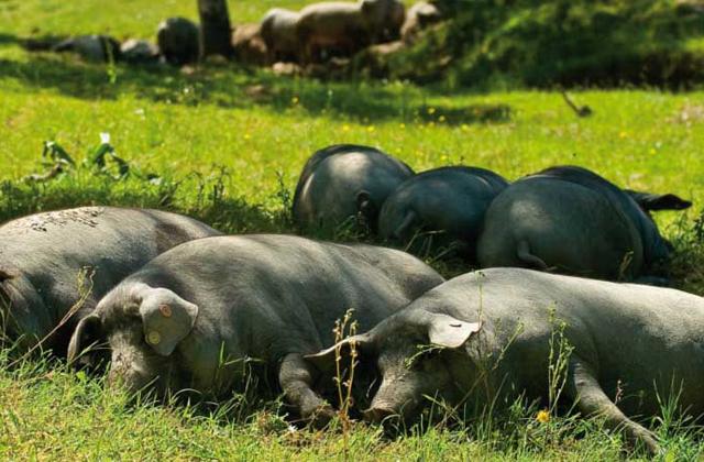 Cerdos en una dehesa de Jabugo