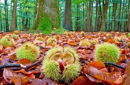 otoño andaluz y sus castañas