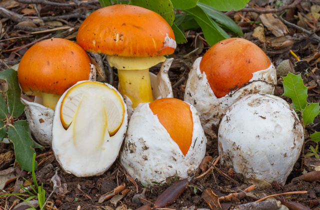 Mycology: 9 locations in Andalusia to enjoy collecting mushrooms: Amanita caesarea