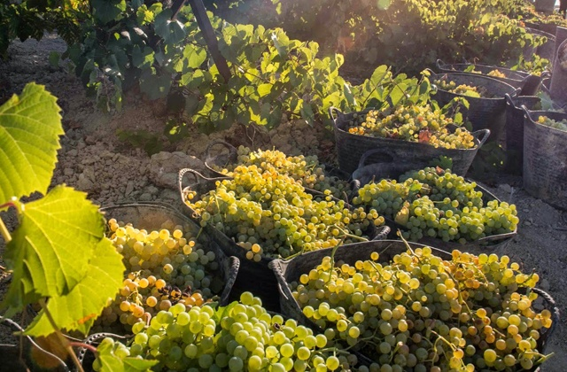 Racimos de uvas de la variedad palomino