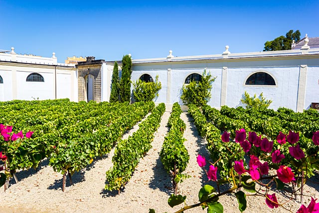 Jerez wineyard