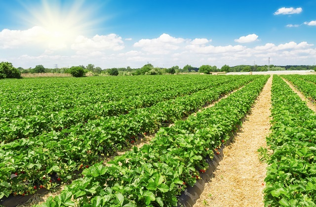 how Huelva Strawberries are cultivated