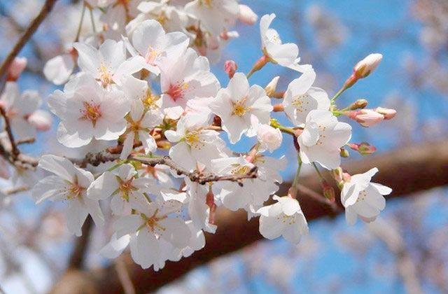 Cerezos en flor Sierra Mágina
