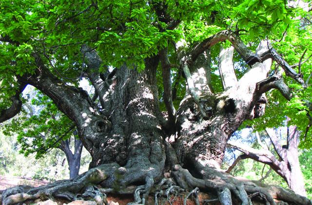 Bosques en Andalucía - Castaño Santo en el entorno de Yunquera