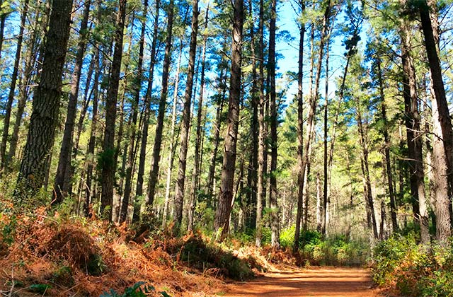 Bosque de pino de El Juanar